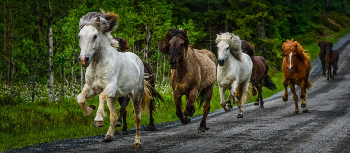 icelandic-horses-PRC896H