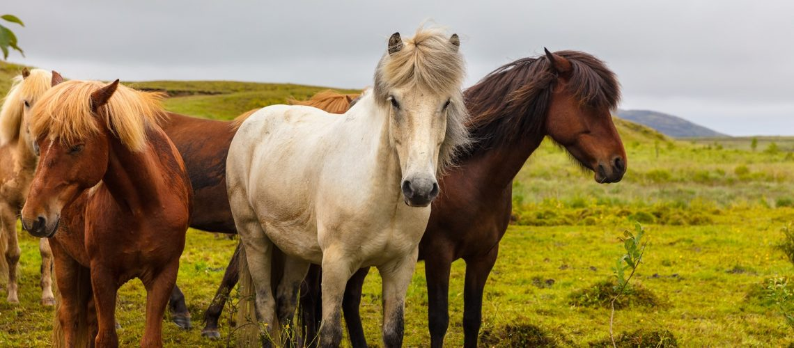 Icelandic horses grazing on field. Domestic animals are on meadow. They are against sky.
