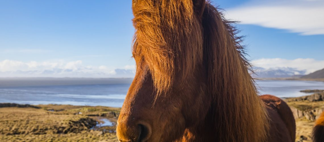 Icelandic horse. The Icelandic horse is a breed of horse developed in Iceland