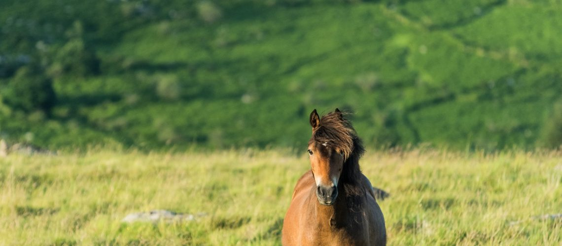 wild horse grazing and looking at camera